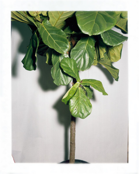 """Pauline Beaudemont. Fiddle Leaf Ficus, enthusiastic. From the series """"Graces"""""""