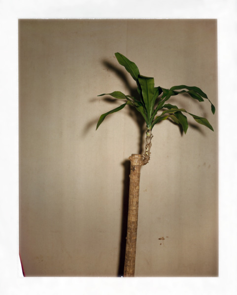 """Pauline Beaudemont. Corn Plant, metaphysical. From the series """"Graces"""""""